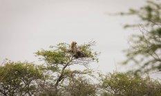 Гриф сідати на дереві проти неба — стокове фото