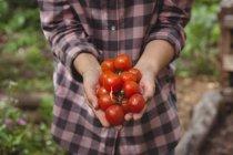 Середине раздел женщина держит свежие помидоры в саду — стоковое фото