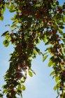 Galho de árvore com frutos maduros contra o céu em um dia ensolarado — Fotografia de Stock