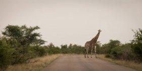 Жираф на дороге в сафари-парке — стоковое фото