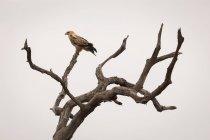 Орел сідати на дереві проти неба — стокове фото