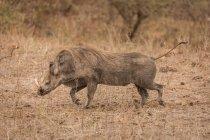 Wildschweine laufen an einem sonnigen Tag im Safaripark — Stockfoto