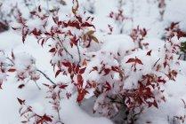 Nahaufnahme der Flora mit Schnee bedeckt — Stockfoto