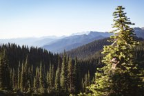 Coniferous tree covered over a mountain at daytime — Stock Photo