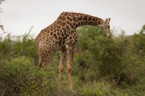 Giraffe im Safaripark an einem sonnigen Tag — Stockfoto