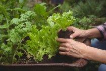 Mani di donna che esamina la pianta in giardino — Foto stock