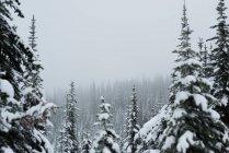 Albero di pino coperto di neve durante l'inverno — Foto stock