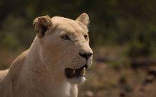 Close-up of lioness at safari park — Stock Photo