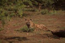 Iena rilassante nel parco di safari in una giornata di sole — Foto stock