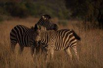 Dos cebras en el parque de safari en un día soleado - foto de stock