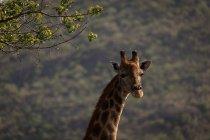 Жираф в сафари-парке в Солнечный день — стоковое фото