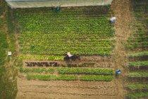 Draufsicht der Landwirt zupfen frische Pflanzen in einer farm — Stockfoto