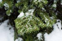 Nahaufnahme der Kiefer Blättern bedeckt mit Schnee im winter — Stockfoto