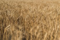 Fresh crop of wheat in wheat field on a sunny day — Stock Photo