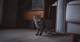 Gato de estimação curioso de pé ao lado do sofá em casa — Fotografia de Stock
