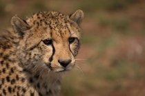 Крупным планом гепарда в сафари-парке в Солнечный день — стоковое фото