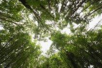 Низкая Ангел вид тропических деревьев в лесу — стоковое фото