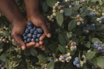 Close-up of worker holding blueberries in blueberry farm — Stock Photo