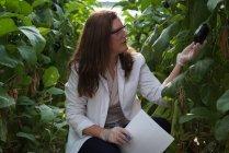 Científica examinando berenjenas en invernadero - foto de stock