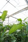 Close-up of green plantation in greenhouse interior — Stock Photo