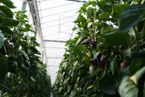 Close-up of aubergines hanging on plants in greenhouse — Stock Photo