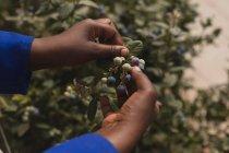 Крупный план рабочего по сбору черники на черничной ферме — стоковое фото