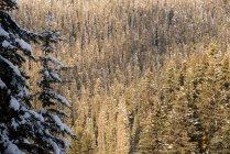 Alberi coperti di neve con una fitta pineta nella priorità bassa — Foto stock