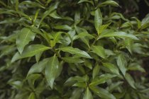 Close-up di foglie verdi sulla pianta — Foto stock