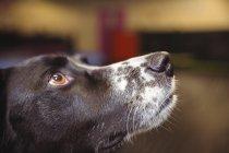 Nahaufnahme eines neugierigen Hundes, der aufschaut — Stockfoto