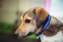 Крупный план собаки с голубым воротником — стоковое фото