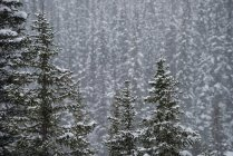 Alberi coperti di neve nella foresta invernale — Foto stock