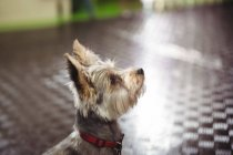 Close-up of yorkshire terrier puppy looking up at dog care center — Stock Photo