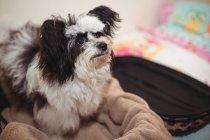 Крупный план папиллонной собаки в чемодане в собачьем центре — стоковое фото