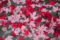 Крупный план листьев клена, упавших на дороге — стоковое фото