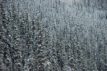 Pine trees covered with snow in forest — Stock Photo