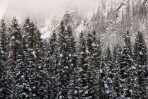 Pine trees covered with snow in wintry forest — Stock Photo