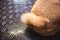 Schwanz von shiba inu Welpen im Hundezentrum — Stockfoto