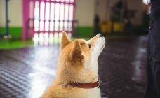 Крупный план шиба Ину щенок глядя вверх на собачий центр — стоковое фото