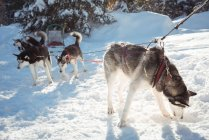 Group of Siberian husky dogs waiting for the sledge ride — Stock Photo