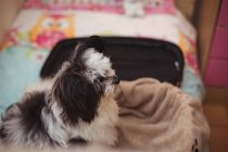 Close-up of papillon dog in suitcase at dog care center — Stock Photo