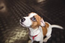 Крупный план крысиного терьера, смотрящего в собачий центр — стоковое фото