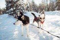 Gruppe von Siberian Husky Hunde warten auf die Schlittenfahrt — Stockfoto