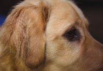 Close-up of golden retriever at dog care center — Stock Photo