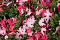 Primo piano di acero foglie caduta sull'erba verde — Foto stock
