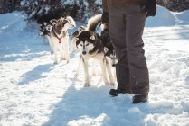 Mid section of musher standing with husky dogs on a snowy landscape — Stock Photo