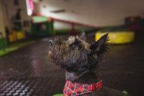 Chiot Shih tzu levant les yeux vers le centre de soins pour chiens — Photo de stock