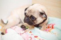 Собака-мопс отдыхает на кровати в центре по уходу за собаками — стоковое фото