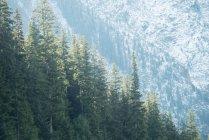 Vista panoramica di alberi di pino in una fitta foresta — Foto stock