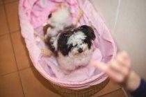 Papillon собаки в кошику собака собака догляд центр — стокове фото