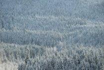 Alberi innevati in foresta, Banff, Alberta, Canada — Foto stock